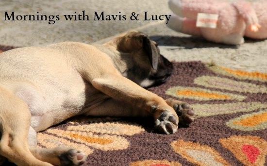 puggle dog napping mornings with mavis