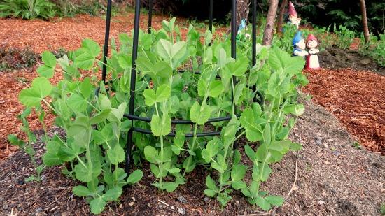 sugar snap peas garden trellis