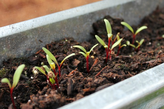swiss chard seedlings
