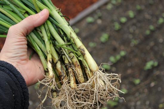 walla walla onion transplants