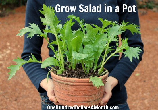 Gardening Idea container gardening idea - grow salad in a pot - one hundred