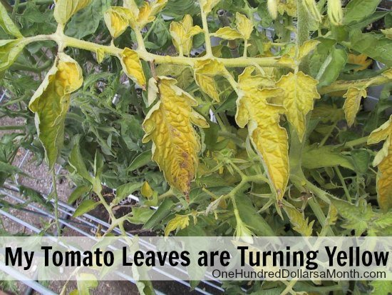 My-Tomato-Leaves-are-Turning-Yellow-1 Leaves On House Plant Yellow Then Brown on spider mites on house plants, yellow leaves on strawberry plants, brown spots on house plants, brown tips on house plants, aphids on house plants, leaf drop on house plants, bugs on house plants, yellow leaves on tomato plants, dropping leaves on house plants, browning leaves on house plants,