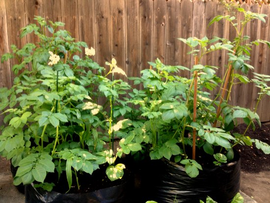 floppy potato plants