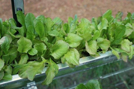 garden gutters organic mesclun lettuce