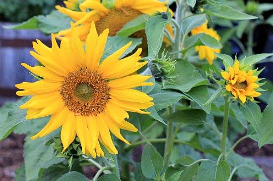 irish-eyes-sunflowers