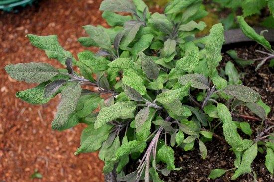 organic gardening Herbs sage