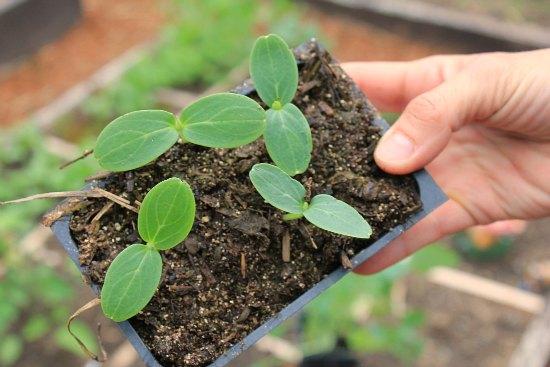 organic gardening cucumber seedlings