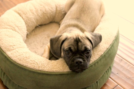 puggle puppy dog bed