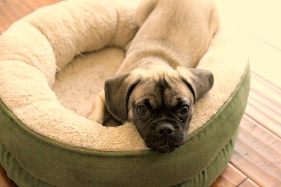 puggle puppy dog bed