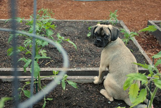 puggle puppy dog