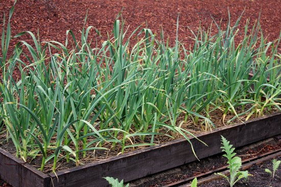 raised garden bed with garlic