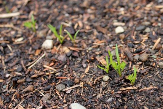 what do carrot seedlings look like