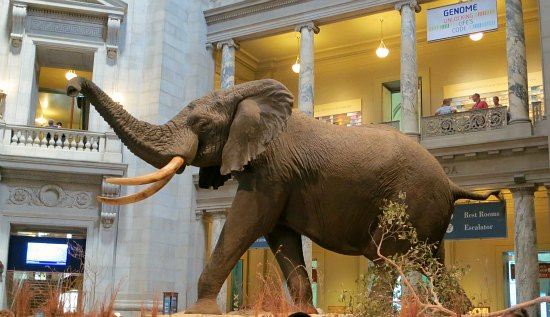 elephant natural history museum Washington d.c.