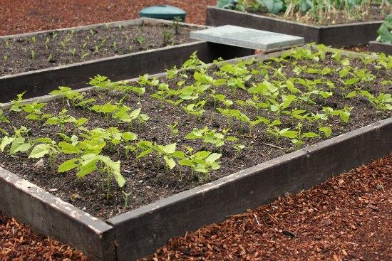 raised garden beds green beans