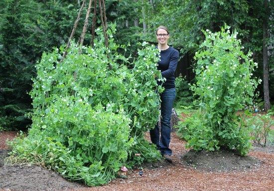 Mavis Garden Blog - Replanting Zucchini Plants     Again