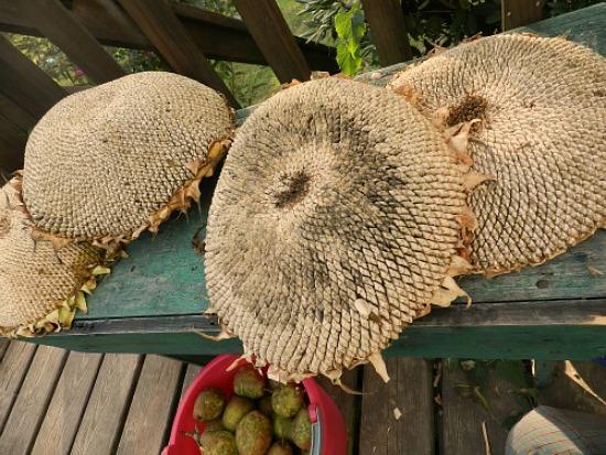 sunflower-seed-heads
