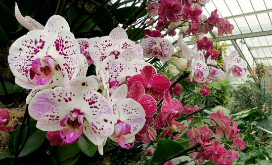white-orchid-pink-spots