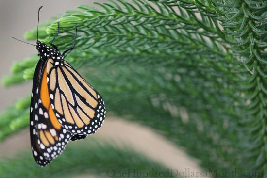 monarch butterfly on pine tree