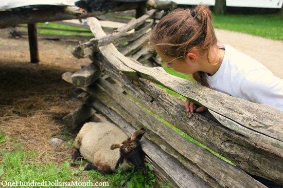 sheep Mount Vernon