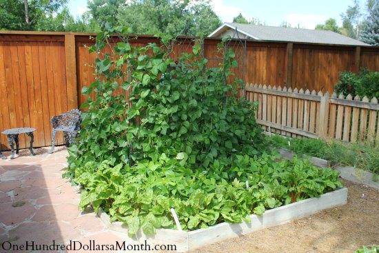 curtis garden beans