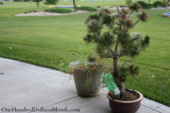 how to water a pine tree