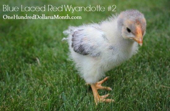 Blue Laced Red Wyandotte chickens