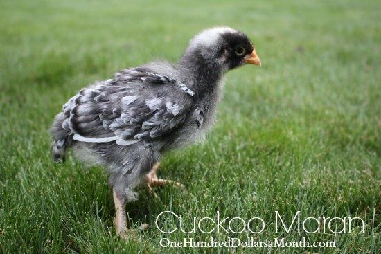 Cuckoo Maran