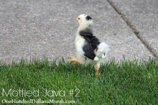 Mottled Java chicks