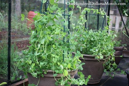 growing peas in a greenhosue