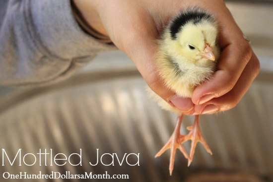 mottled java baby chicken