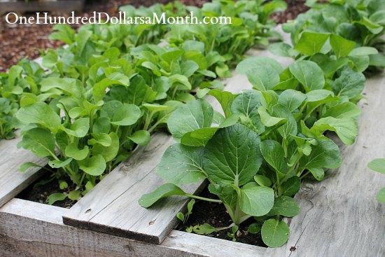 pallet gardening lettuce