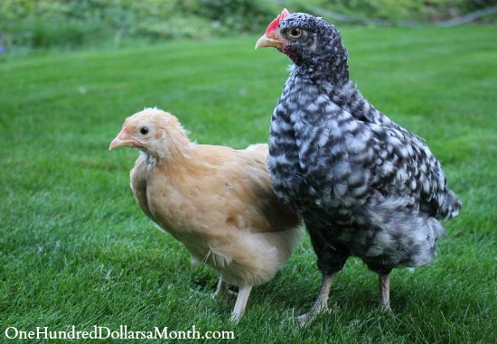 barred rock chick chicken rooster