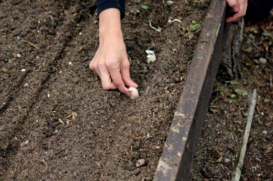 fall-how-to-plant-garlic-bulbs