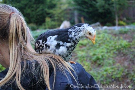 mottle java chick