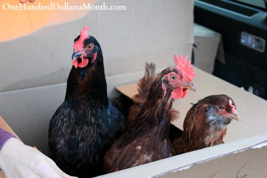 chickens in a box