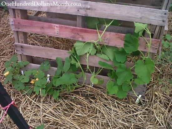 DIY Pallet Garden Pumpkin Trellis
