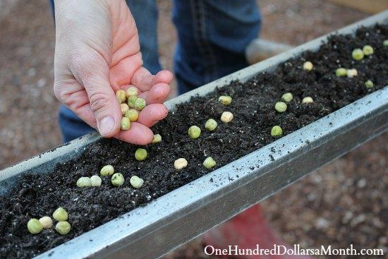planting peas in gutters