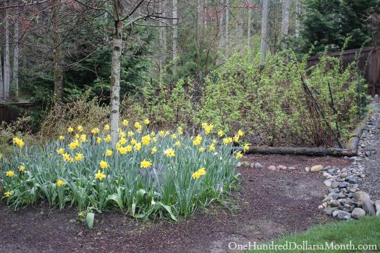 daffodils and raspberries