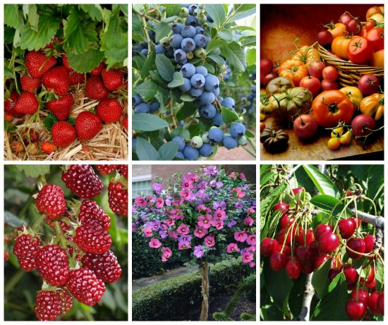 fruit trees bulk strawberry plants