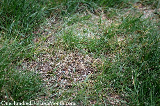 grass seed reseeding lawn