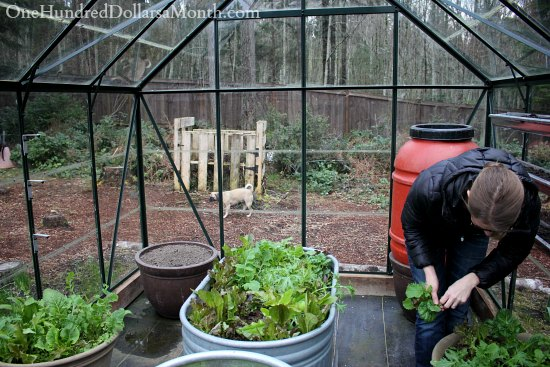 growing lettuce in a greenhouse
