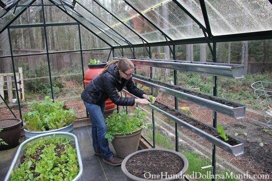 growing lettuce in a greenhouse