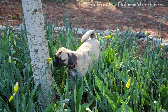 lucy the puggle dog daffodils