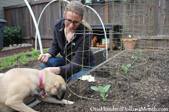 planting peas lucy puggle