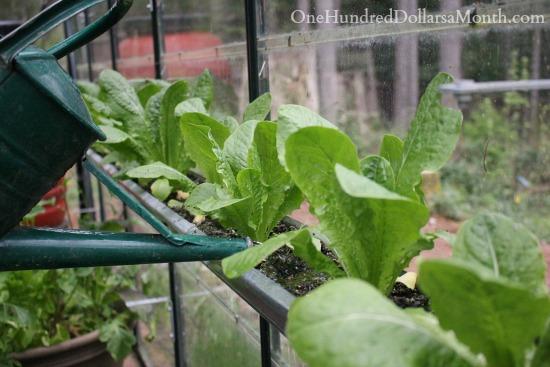 greenhouse lettuce gardening