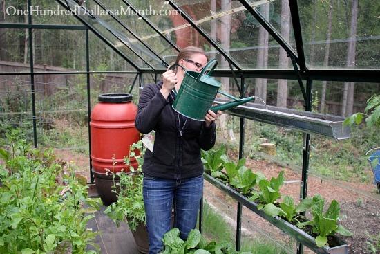 gutter gardening lettuce