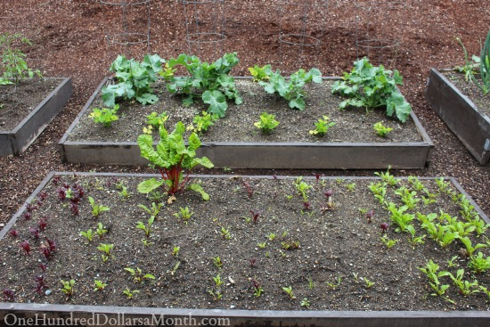 spring beets planted in a garden box