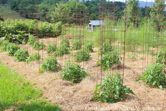 growing tomatoes in cages