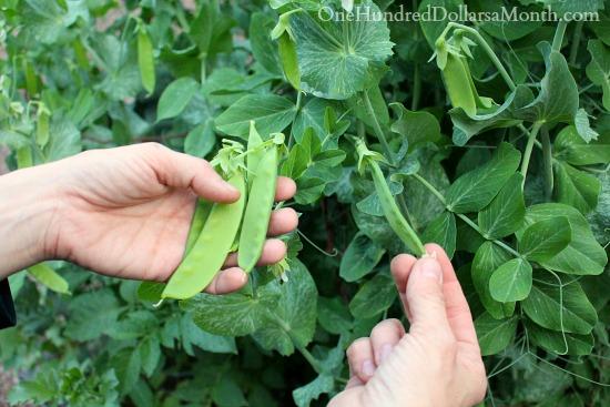 harvesting snow peas