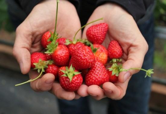 holding-fresh-strawberries